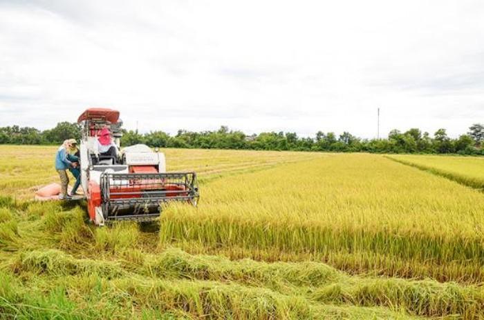 Máy liên hợp đang thu hoạch lúa